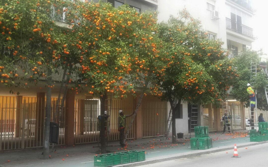 Veja a colheita de laranjas nas ruas de Sevilha