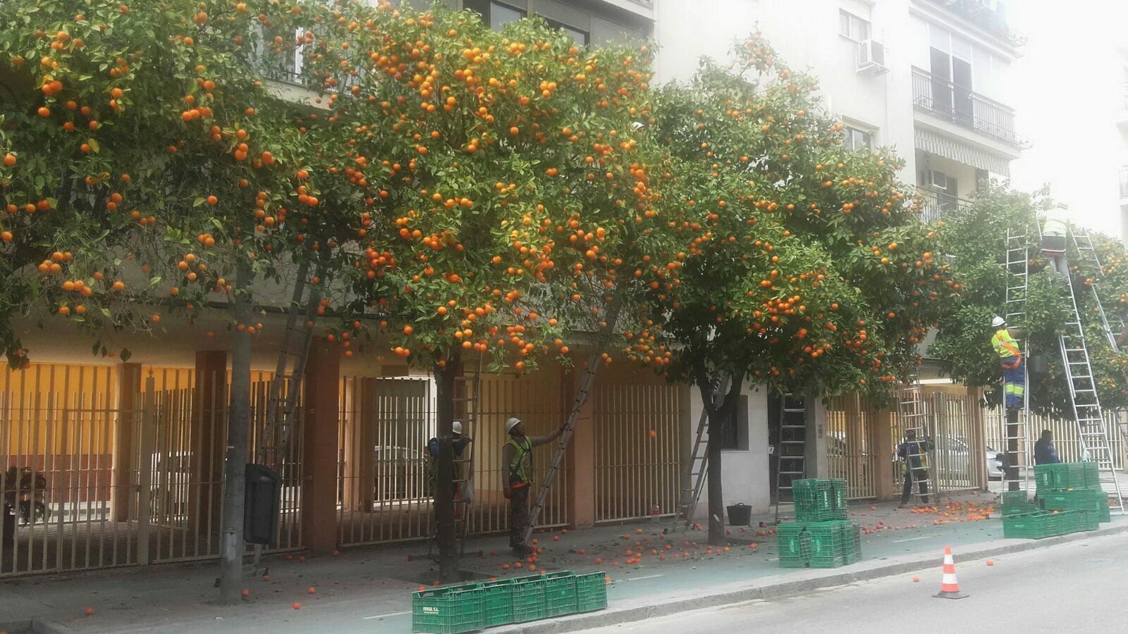 Árvore de laranja azeda na rua em Sevilha  foto Dora Schanzer