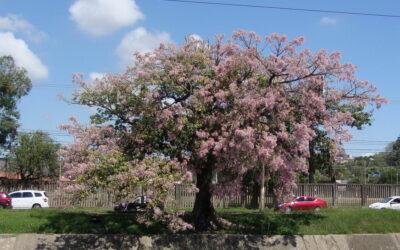 Conheça a paineira, flor rosa que colore a paisagem outonal