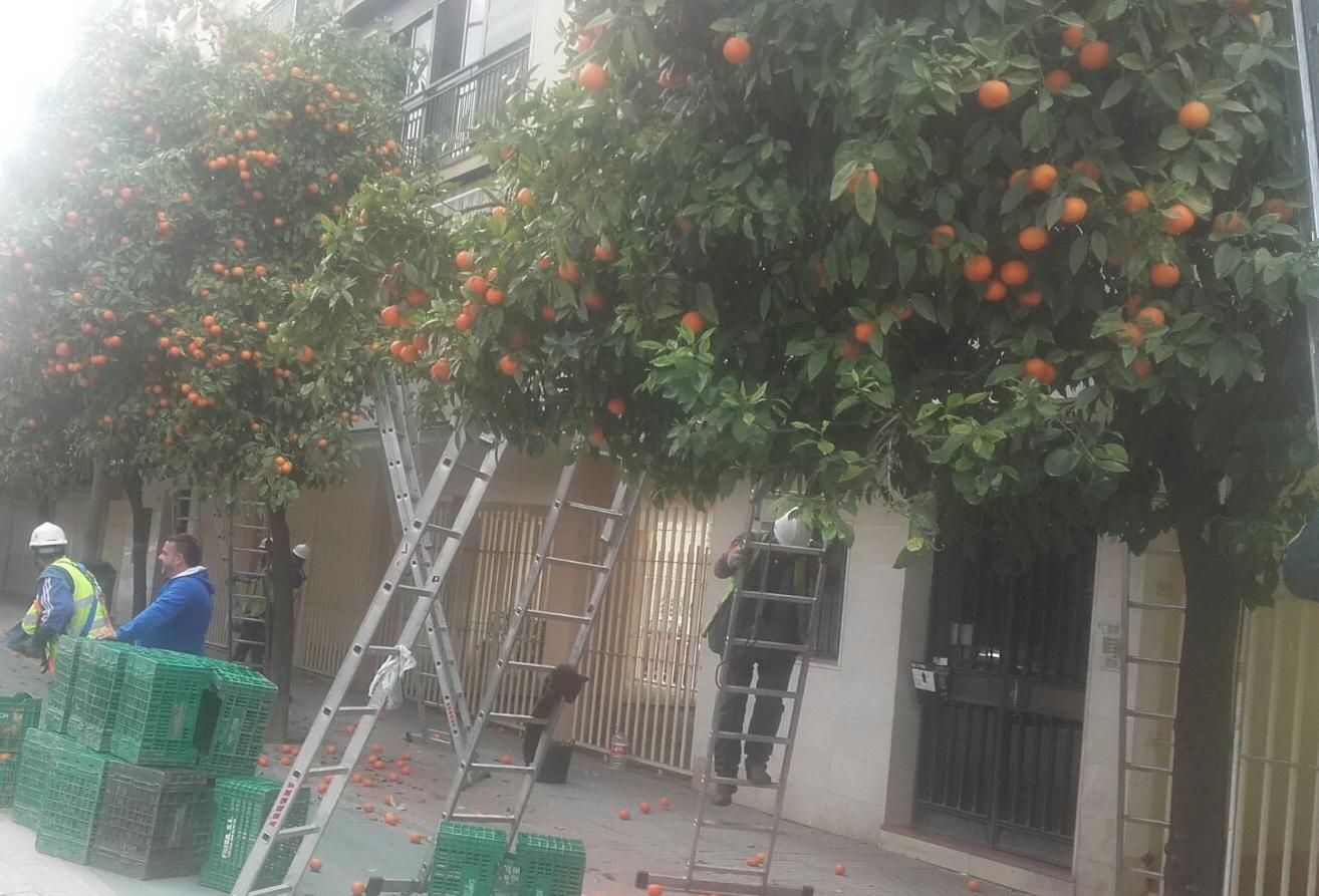 colheita de laranja nas ruas de Sevilha  foto: Dora Schanzer