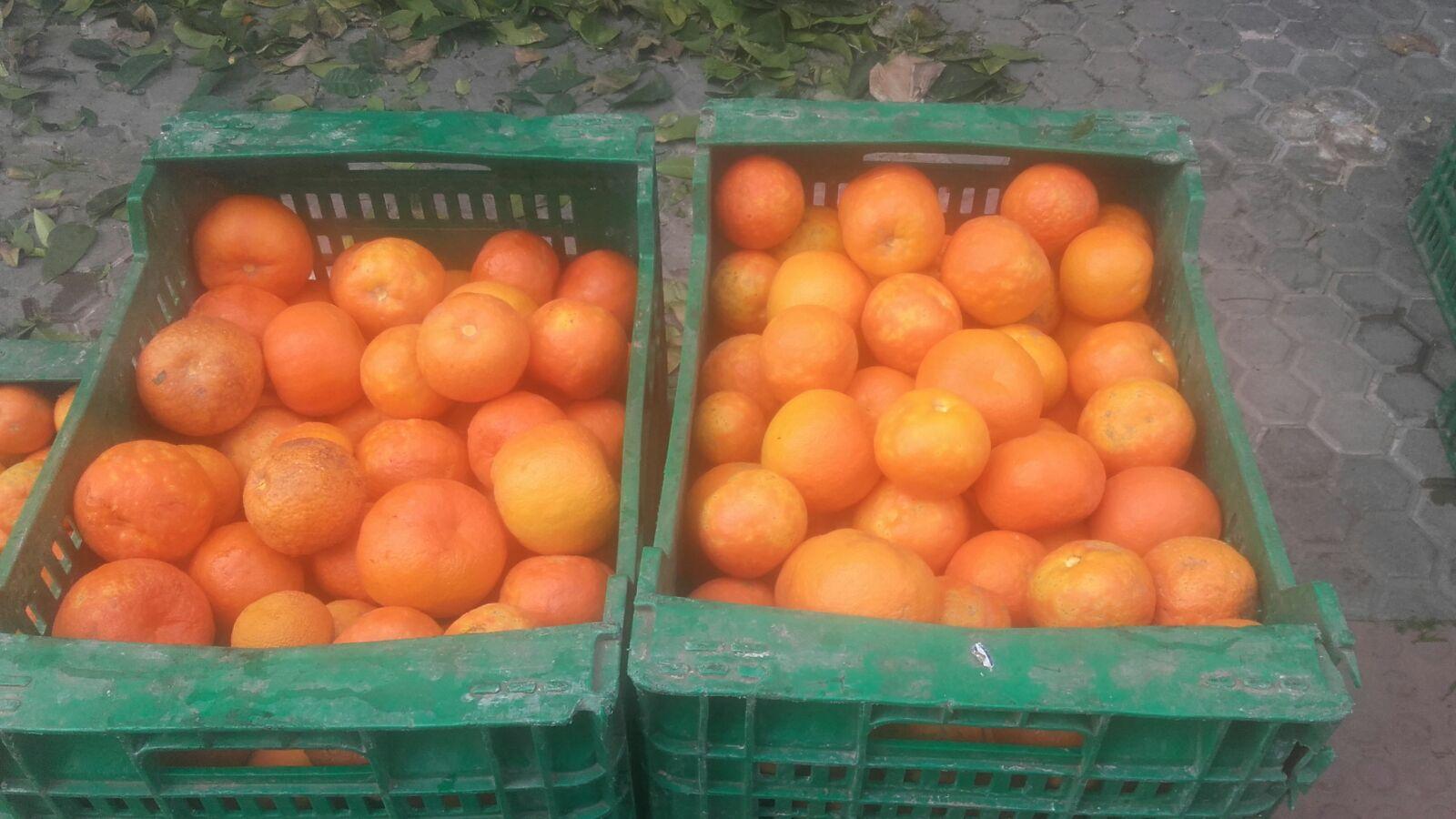 Colheita de laranjas-azedas nas ruas de Sevilha  foto Dora Schanzer
