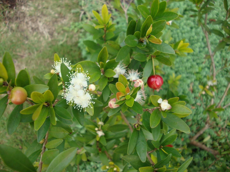 Myrtus comunnis flor e fruto