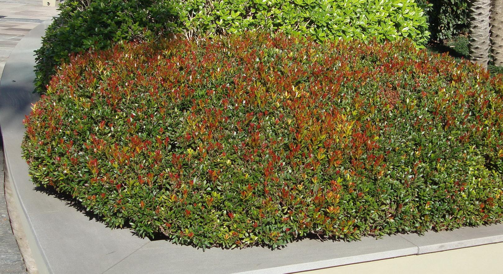 Myrtus comunnis - pitanga anã
