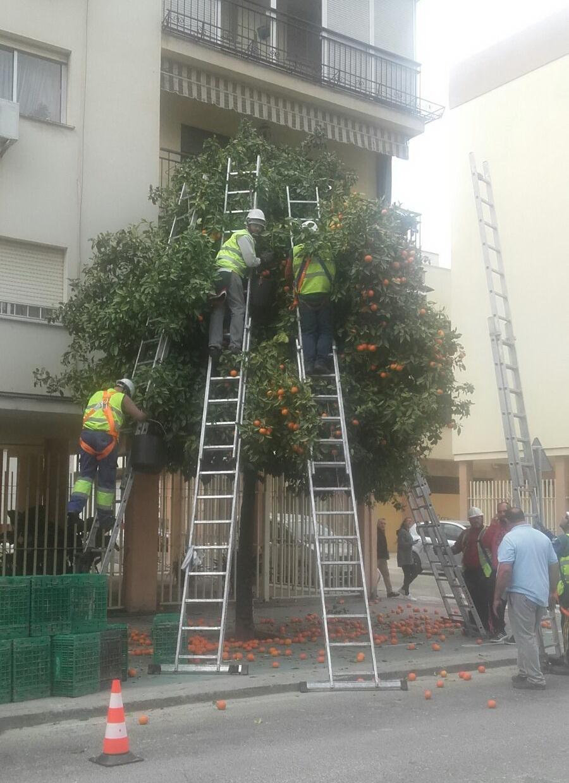Ruas com árvores de laranjas amargas em Sevilha  foto Dora Schanzer