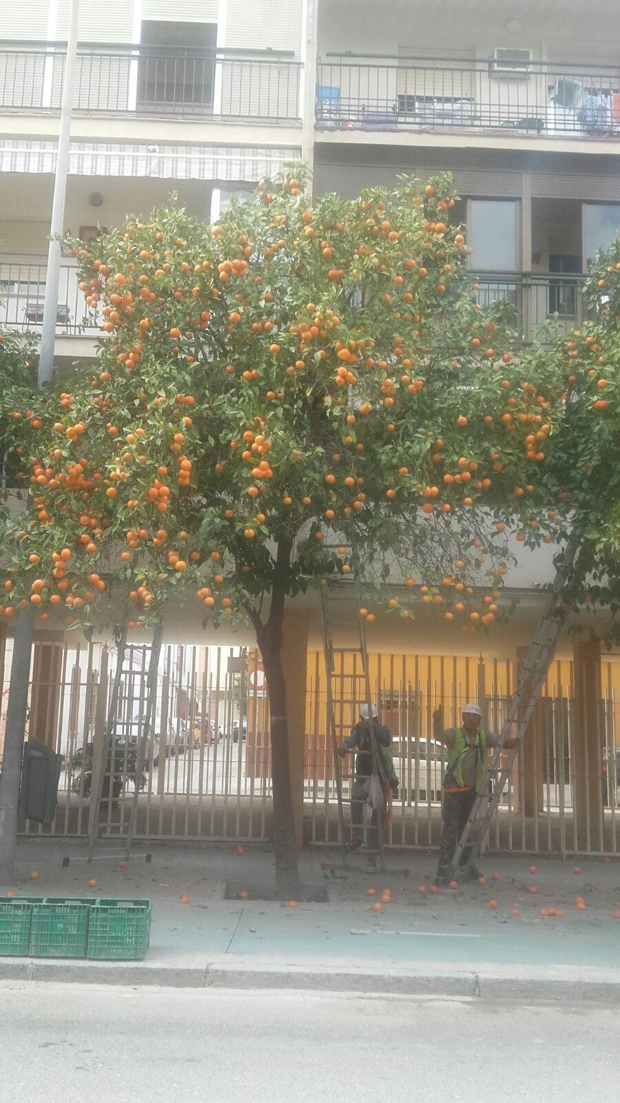 As árvores de laranja-azeda, plantadas nas calçadas foto: Dora Schanzer