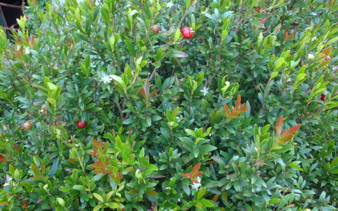 Pitanga-anã: um arbusto nativo para plantar em espaços pequenos