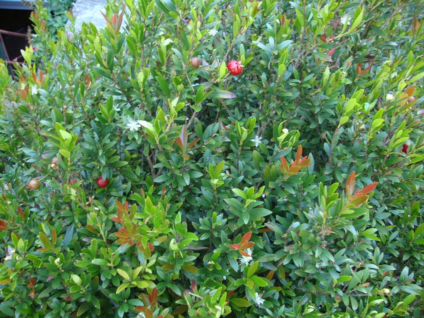 Flor da pitanga-anã    Foto: Helena Schanzer