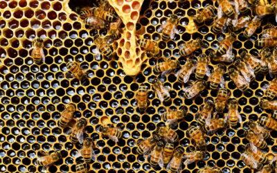 O que podemos fazer para salvar as abelhas?