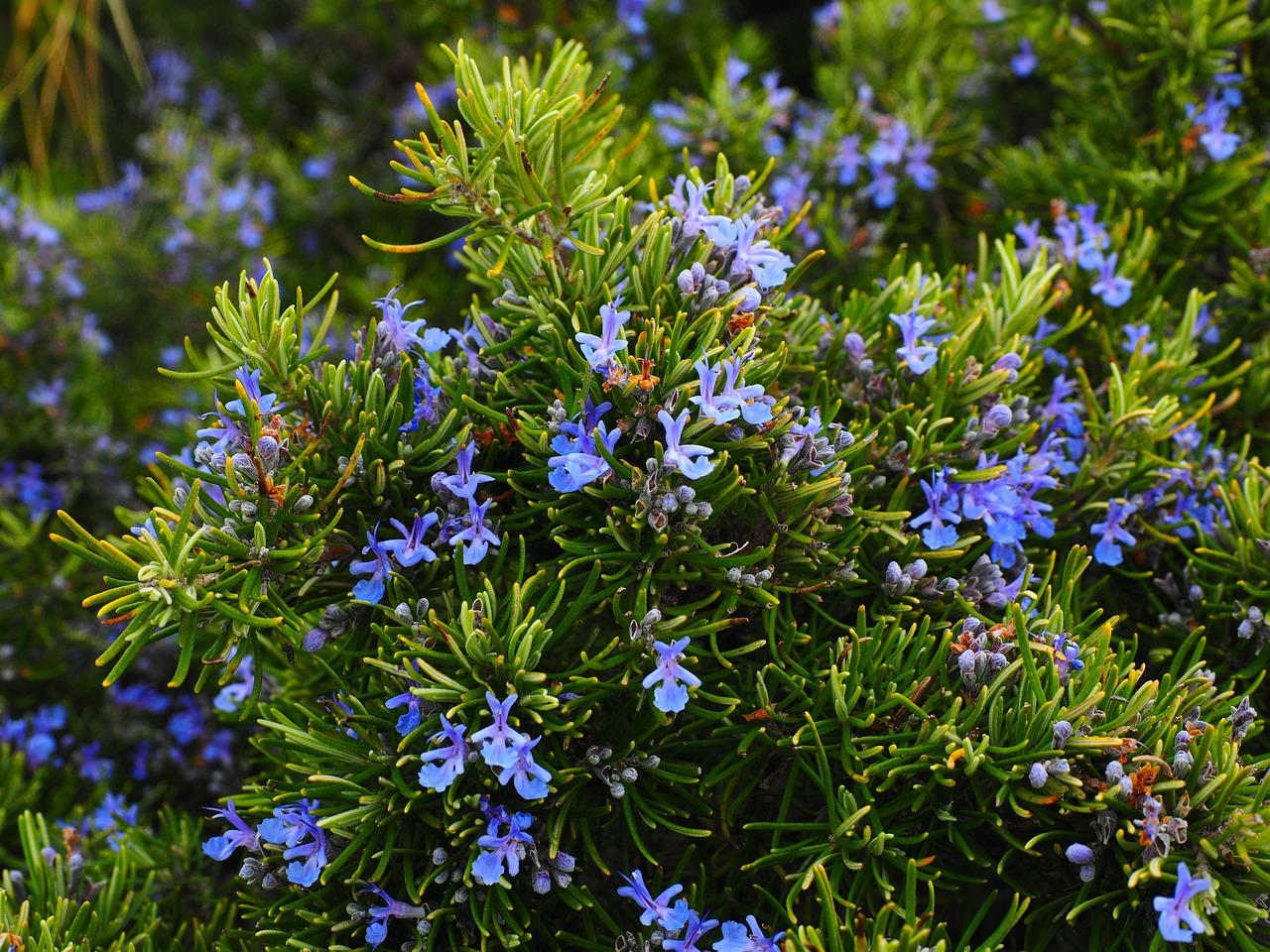 Alecrim em floração  foto: Pixabay