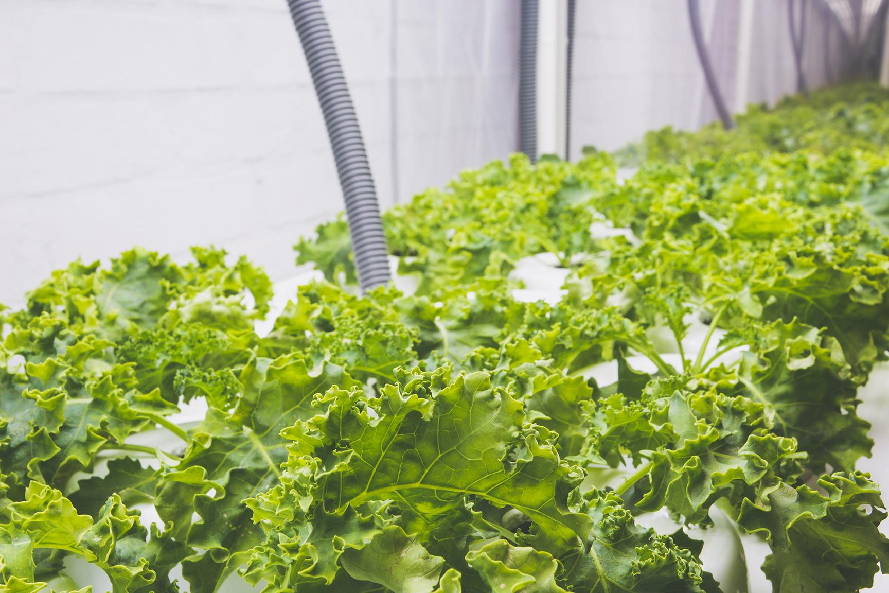 Couve variedade Kale  cultivada em estufa   foto: Emmanuel Denauí