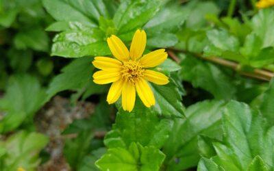Conheça a Vedélia, forração de solo nativa que está sempre florida